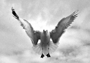 Beach Seagull Landing by Stephen Lebovits