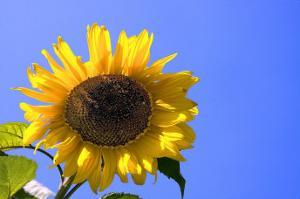 Sunflower Splendor by Stephen Lebovits