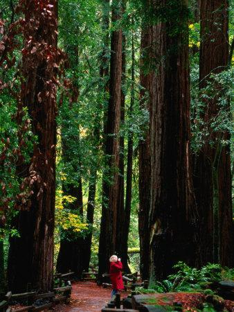 Forest of Redwood Trees, Muir Woods National Monument, California, USA