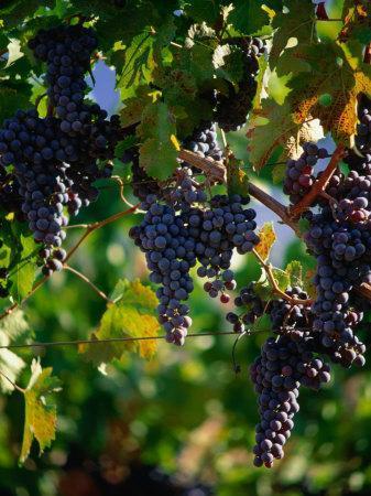 Purple Grapes Hanging on Vine, Napa Valley, California, USA