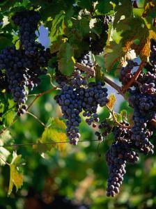 Purple Grapes Hanging on Vine, Napa Valley, California, USA by Stephen Saks