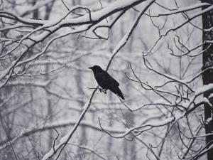 A Black Crow Contrasts with Falling White Snow Blanketing the Surrounding Woods by Stephen St. John