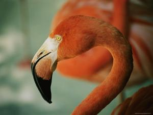 A Close View of the Curved Neck and Beak of a Pink Flamingo by Stephen St. John