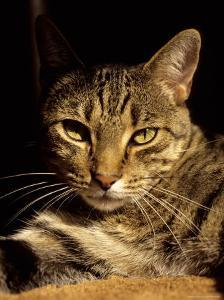 A Close View of the Face of a Curious Domestic Tabby Cat by Stephen St. John