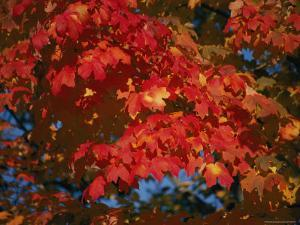 A Close View of Vibrant Autumn Leaves in Rock Creek Park by Stephen St. John