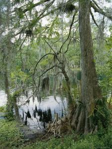 A Cypress Tree with Spanish Moss Along the Shore of the Silver River by Stephen St. John