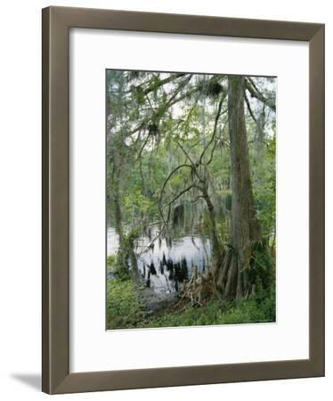 A Cypress Tree with Spanish Moss Along the Shore of the Silver River