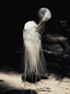 A Majestic Great Egret Cranes its Neck to Pluck at its Feathers by Stephen St^ John