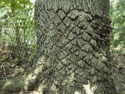 A Old Chain-Link Fence Has Been Swallowed by an Expanding Tree