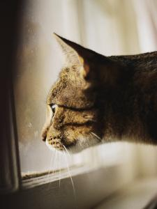 A Profile of a Tabby Cat by Stephen St. John