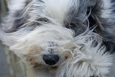 A Sheepdog on a Windy Day