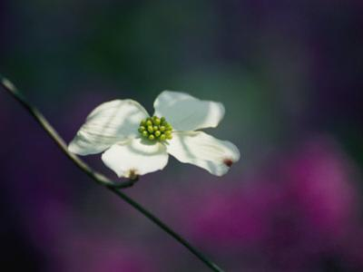 A Single Dogwood Blossom Open to the Sunlight