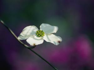 A Single Dogwood Blossom Open to the Sunlight by Stephen St. John