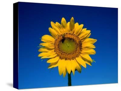 A Single Sunflower Glows against Blue Sky