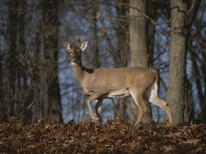 A Wild Deer Caught in Early Morning Light by Stephen St. John