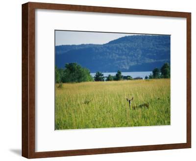 A Wild Deer Peers Through High Meadow Grass