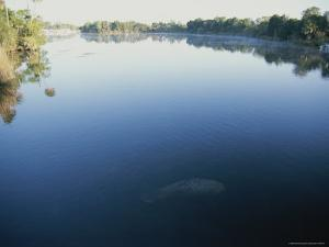 A Wild Manatee Swims Down the Scenic Homosassa River in Early Morning by Stephen St. John