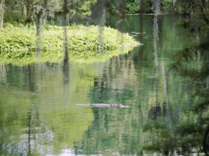 An Alligator Floats Just Above the Surface of the Silver River by Stephen St. John