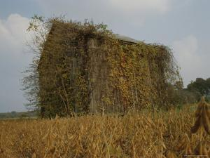 Autumn-Colored Vines Cover an Old Barn in a Field Near Easton by Stephen St. John