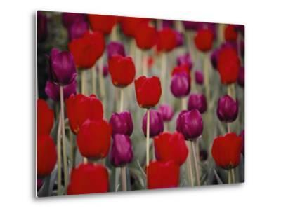 Bright Red and Purple Tulip Blossoms on Long Green Stems Grace the Hotel Gardens
