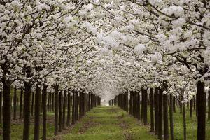 Bright Rows of Blossoming Pear Trees Line a Nursery in Spring by Stephen St. John
