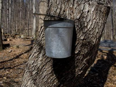Bucket Collects Maple Tree Sap to Boil Down into Maple Syrup