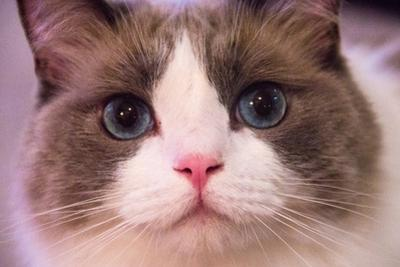 Close Up Portrait of a Blue-Eyed Cat Looking into the Camera