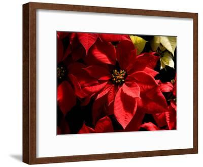 Colorful Poinsettias Decorate for the Christmas Holidays