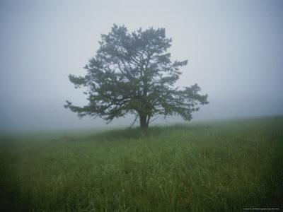Early Morning Fog Outlines a Solitary Pine Tree in a Grassy Field