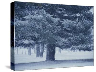 Falling Snow Streaks Past a Large Pine Tree During a Storm