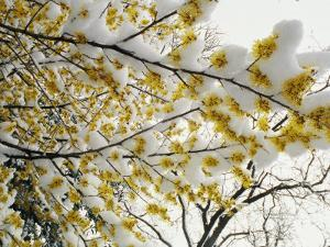 Fluffy Snow Clings to the Yellow Branches of a Flowering Forsythia Bush by Stephen St. John