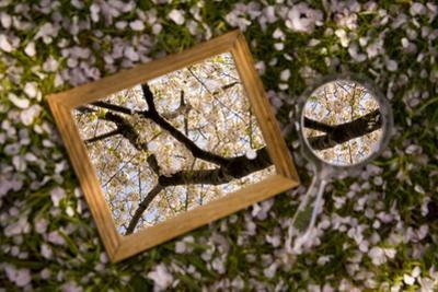 Mirrors on a Bed of Cherry Blossom Petals Reflect the Pink Treetops