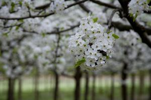 Pear Blossoms in Full Bloom Brighten Rows of Nursery Trees by Stephen St^ John