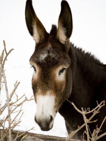 Portrait of a Mule in Fresh Snow by Stephen St. John