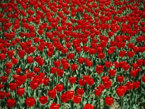 Red Tulips with Green Stems by Stephen St. John