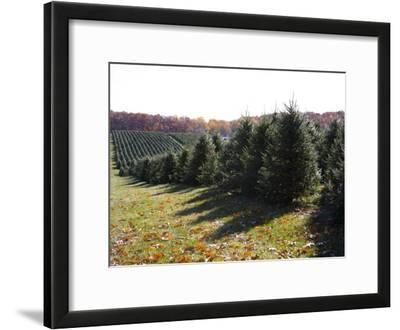 Rows of Pine Trees Await Christmas Buyers