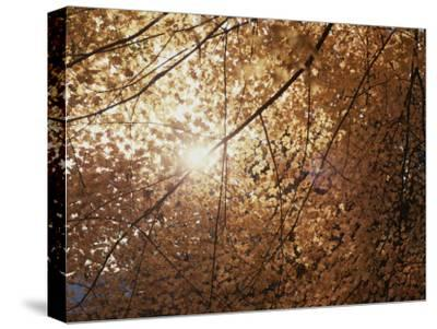 Sun Peeks Through a Canopy of Yellow Autumn Leaves