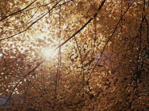 Sun Peeks Through a Canopy of Yellow Autumn Leaves by Stephen St^ John