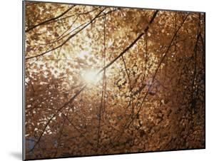 Sun Peeks Through a Canopy of Yellow Autumn Leaves by Stephen St. John