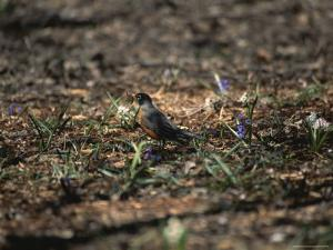 The First Robin of Spring with a Worm by Stephen St. John