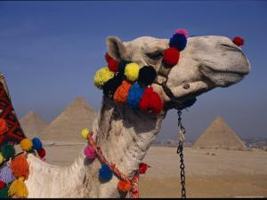 The Pyramids of Giza are Framed by the Brightly-Tassled Head of a Camel by Stephen St. John