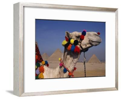 The Pyramids of Giza are Framed by the Brightly-Tassled Head of a Camel
