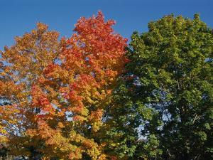 Three Trees Showing Variations in Autumnal Color by Stephen St. John