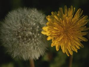 Two Stages of Dandelion Side by Side, Yellow Petals and Seed Head by Stephen St. John
