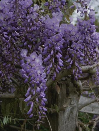 Wisteria Blossoms Drape an Old Fence Post