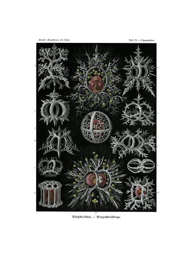 Stephoidea, 1899-1904--Giclee Print