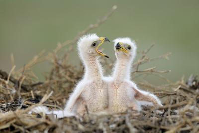 Steppe Eagle (Aquila Nipalensis) Chicks, Cherniye Zemli Nature Reserve, Kalmykia, Russia, May- Shpilenok-Photographic Print