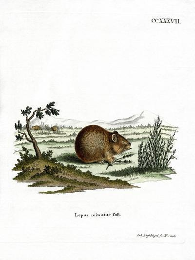 Steppe Pika--Giclee Print