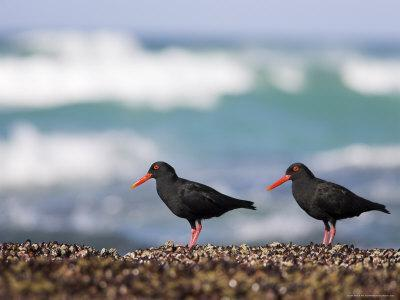 African Black Oystercatchers, De Hoop Nature Reserve, Western Cape, South Africa