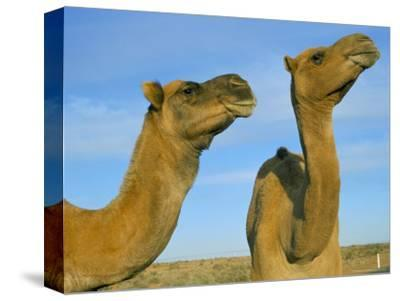 Arabian Camels (Camelus Dromedarius), Feral in Outback, New South Wales, Australia
